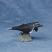 Gray Whale Mini
